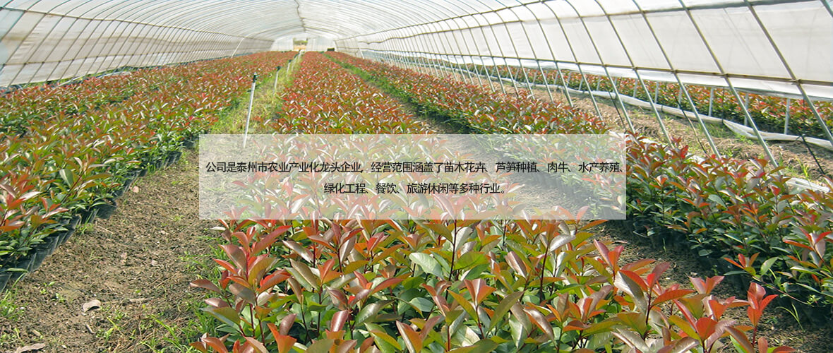 红叶石楠苗床 (3)